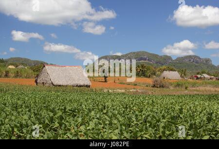 Maisons de séchage du tabac pour l'asseoir entre les champs de tabac à Cuba Vinales avec les collines en arrière Banque D'Images