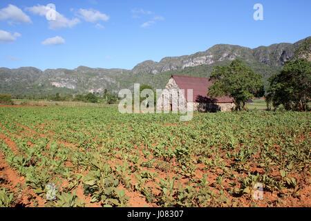 Les champs de tabac et d'une chambre de séchage utilisé dans la production de cigares de Cuba à Vinales Banque D'Images