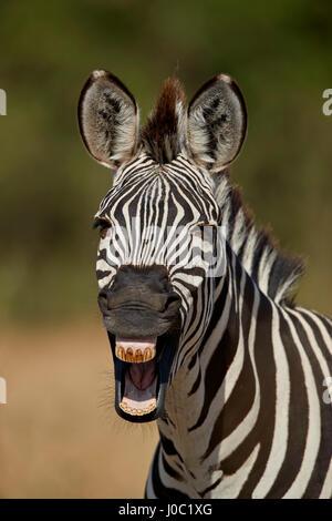 La moule commune (zèbre des plaines) (le zèbre de Burchell (Equus burchelli) le bâillement, le Ruaha National Park, Banque D'Images