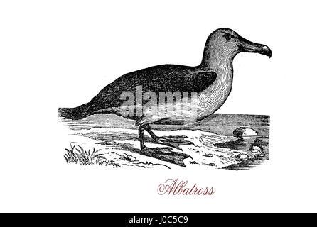 L'albatros, de la famille des Diomédéidés biologique, est un grand allié de l'oiseaux de procellariidés, océanite Banque D'Images