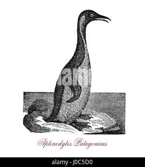 Le manchot royal (Aptenodytes patagonicus) est une grande espèce de pingouin, deuxième seulement pour le manchot Banque D'Images