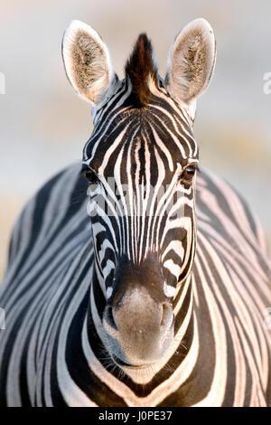 Zèbre dans le parc national d'Etosha, Namibie Banque D'Images