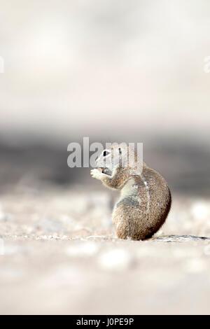 Écureuil terrestre dans le parc national d'Etosha, Namibie Banque D'Images