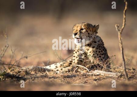 Cheetah dans la lumière du matin. Banque D'Images
