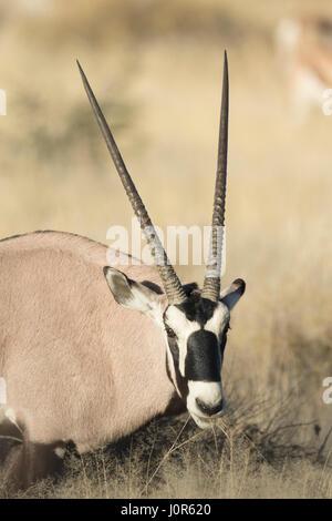 Oryx dans Etosha National Park, Namibie Banque D'Images