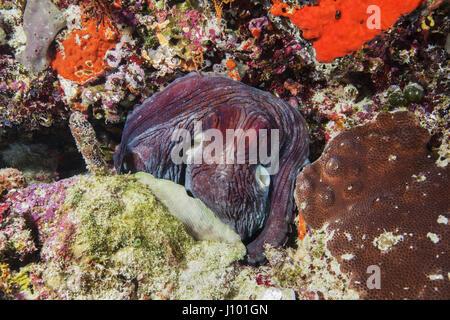 Big Blue Poulpe (Octopus cyanea) est situé sur un récif de corail, de l'Océan Indien, les Maldives Banque D'Images