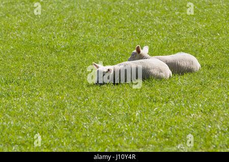 Paire d'agneaux se blottir ensemble pour la chaleur et le confort dans l'herbe des pâturages dans l'Angleterre rurale Banque D'Images