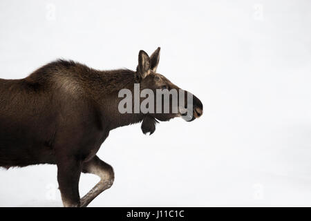 Elch / Orignal ( Alces alces ), jeune taureau, marcher dans la neige, les gros plan, très gros plan, le Grand Teton Banque D'Images