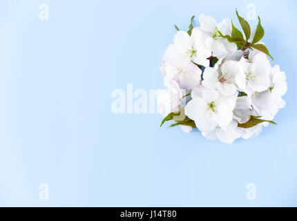 Arrangement des fleurs de cerisiers en fleurs blanches sur fond bleu clair avec beaucoup d'espace de copie. Banque D'Images