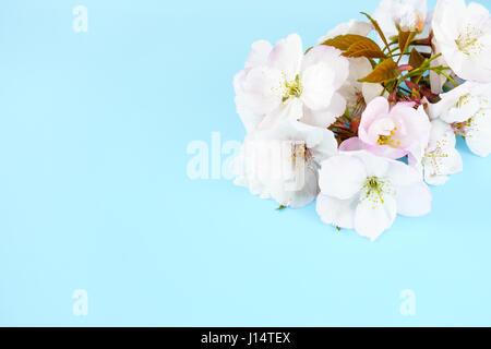 Brindille de cerisiers en fleurs fleurs blanches sur fond bleu clair avec beaucoup d'espace de copie. Banque D'Images