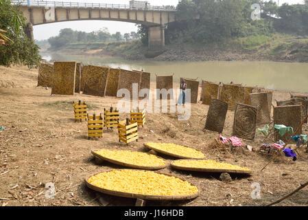 Les cocons de vers à soie: circulaires traditionnels à armature en bambou dans la production de la soie dans un Banque D'Images
