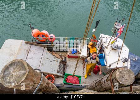 Devon,Angleterre,Clovelly. Les pêcheurs professionnels décharger les buccins la prise du jour dans le port abrité Banque D'Images