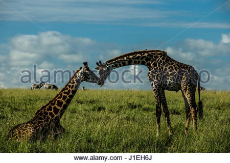 Deux girafes nuzzling mutuellement dans le Kenya Masai Mara la réserve nationale. Banque D'Images
