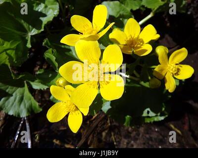 Souci de marais,(Caltha palustris), fleur jaune,