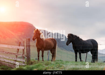 Icelandic Horse portrait close up Banque D'Images