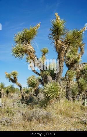 Joshua tree à Arthur B. Ripley forestiers désert State Park Banque D'Images