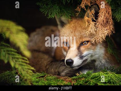 renard roux Banque D'Images