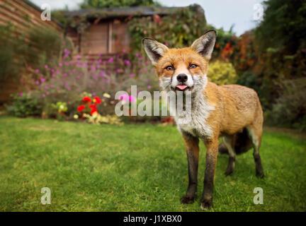 Portrait de red fox collage hors de la tong Banque D'Images