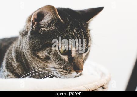 Chat tigré dans un panier Banque D'Images