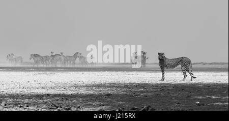 Un guépard à la recherche sur les plaines de sable blanc de Liuwa Plain National Park, Zambie Banque D'Images