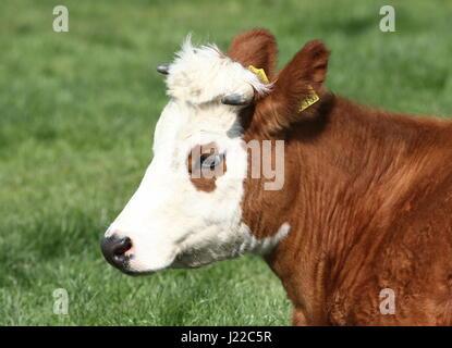 Aujourd'hui, le bétail traditionnel ('Blister Head'), une ancienne race néerlandais, qui se trouve principalement dans la province de Groningue, Pays-Bas du Nord