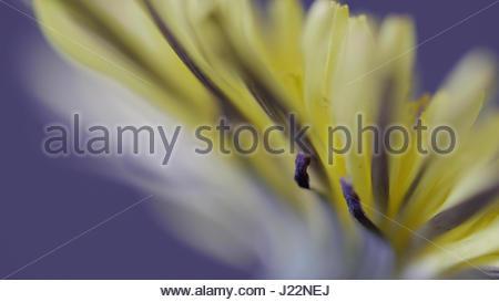 Pissenlit jaune fermer macro à une toile de fond violet Banque D'Images
