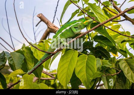 Chameleon assis sur une branche d'ylang-ylang, arbre de l'île Nosy Be, Madagascar Banque D'Images