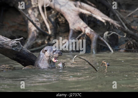 La loutre néotropicale Lontra longicaudis Chucunaque River Darién au Panama