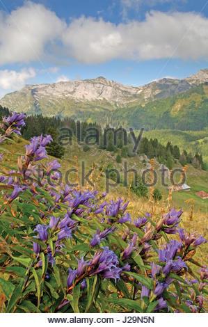 La France, le sud-est de la France, Massif des Bauges, gentiane près du Col du haut col de montagne (4) Banque D'Images