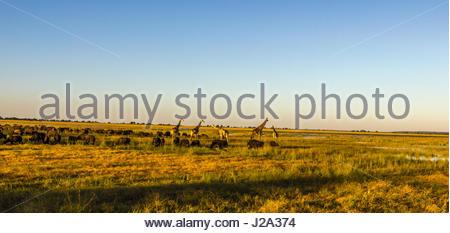 Girafe et grand troupeau de bisons broutent ensemble sur la plaine inondable de la rivière Chobe dans le soleil Banque D'Images