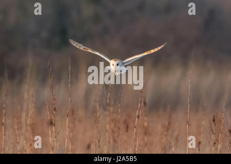 Effraie des clochers (Tyto alba) la chasse dans un pré au coucher du soleil Banque D'Images