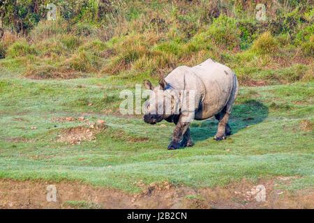 Un rhinocéros à une corne, indien (Rhinoceros unicornis) marche dans le parc national de Chitwan