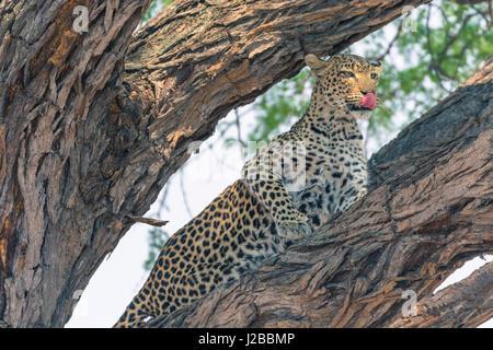 Le Botswana. Delta de l'Okavango. Concession Khwai. Femme léopard (Panthera pardus) haut dans un arbre. Banque D'Images