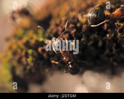 Fourmis noires sur un moss photographié fermer