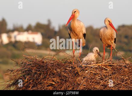 Un couple de Cigognes blanches sur un nid avec un jeune poussin Banque D'Images