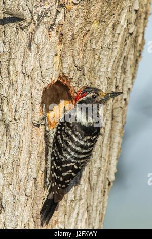 Le pic de Nuttall mâle d'excavation du nid, La Mesa, Californie Banque D'Images