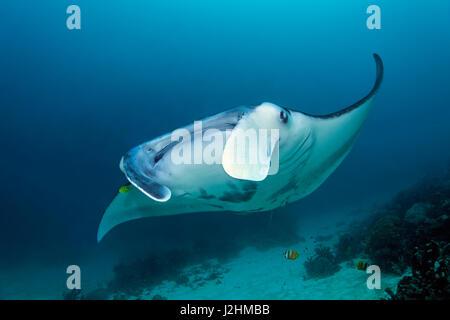 Manta Reef (Manta alfredi), natation sur coral reef, vue avant, poisson, Raja Ampat, Papouasie occidentale, Pacifique, Banque D'Images