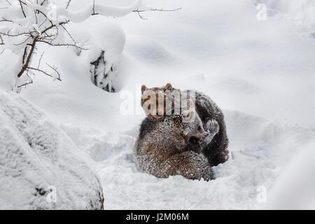 Deux 1 ans d'oursons ours brun (Ursus arctos arctos) jouer les combats dans la neige en hiver Banque D'Images