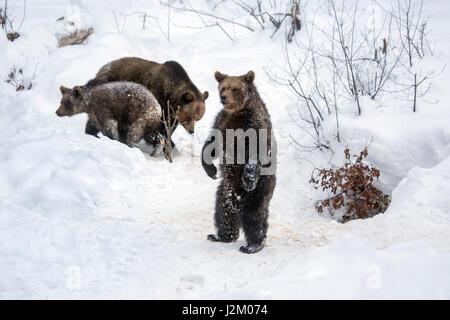 Femelle et deux 1-year-old brown bear (Ursus arctos arctos) dans la neige en hiver / printemps Banque D'Images