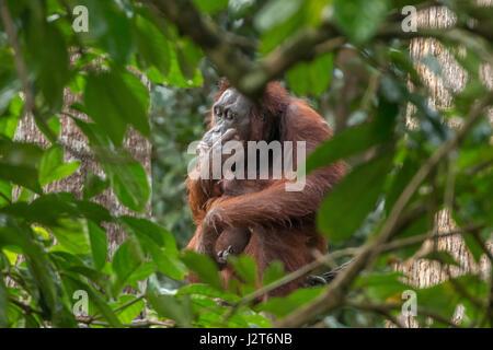 Gravement menacée d'orang-outans (Pongo pygmaeus) dans une réserve près de Sandakan, Malaisie, Bornéo. Banque D'Images