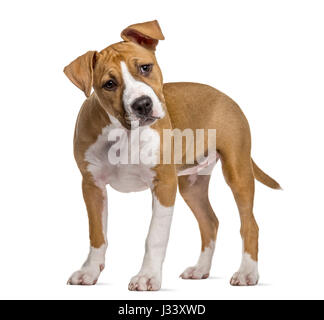American Staffordshire Terrier puppy, 4 mois, isolated on white
