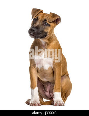 American Staffordshire Terrier puppy (4 mois)