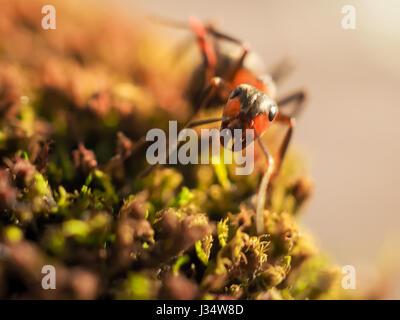 Ant Noir sur vert mousse tandis qu'explorer petit monde.