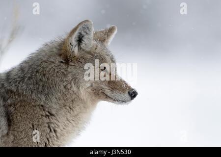 Le Coyote (Canis latrans), en hiver, la lumière de neige, neige, regardant concentré, peeking, chasse, close-up Banque D'Images