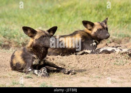 Deux lycaons (Lycaon pictus) reposant sur la savane. Ol Pejeta Conservancy, au Kenya. Banque D'Images