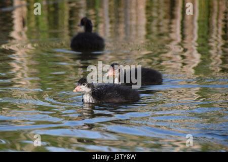 Les jeunes canetons foulque sur un lac calme encore au début du printemps soir Banque D'Images