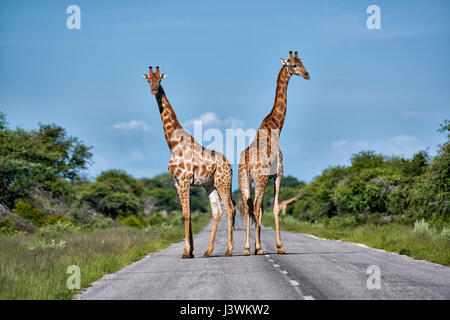Les Girafes sur la route dans le Parc National d'Etosha Banque D'Images