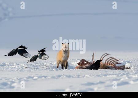 Red Fox (Vulpes vulpes) en hiver, la neige, debout à côté d'une carcasse, d'attente, à regarder, ensemble avec le vol des pies, NP Yellowstone, Wyoming, USA.