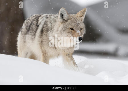 Le Coyote (Canis latrans), des profils en hiver, marcher, courir dans la neige profonde, ruse, Shifty, aperçu en Banque D'Images