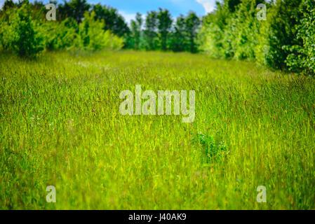 Fleurs de camomille sauvage sur un champ sur une journée ensoleillée. faible profondeur de champ Banque D'Images
